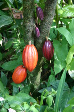 the Cocoa Tree
