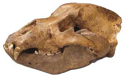 Researchers used to think these ancient cave bears were herbivores… unfortunately for ancient humans, it now looks like the bears were thriving meat eaters…