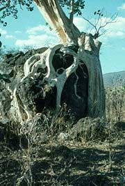 Amate tree, where some of the bark came from.