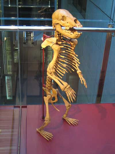 This cave bear is young, but when they were fully grown, cave bears were slightly larger than the grizzly bears of today.