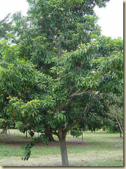 The Manilkara chicle tree