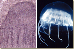 Comparing ancient and modern jellyfish
