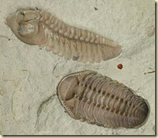 These creatures were often eaten by anomalocaridids
