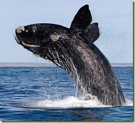 baleen-whale