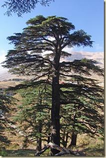 cedarsoflebanon